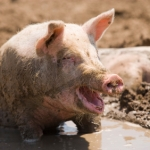 Never wrestle with a pig. The pig will love it and…..